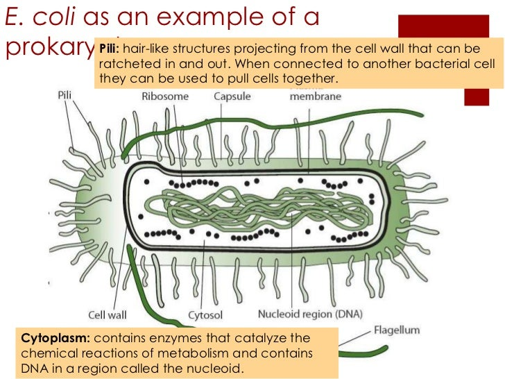 22 prokaryotic cells e coli ccuart Image collections