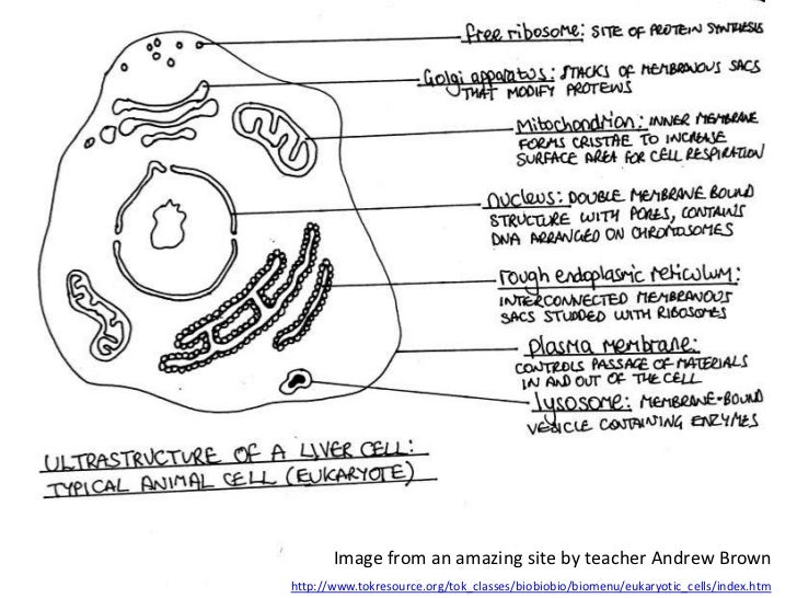 Liver cell diagram drawing product wiring diagrams ib biology core 2 3 eukaryotic cells rh slideshare net hepatocyte cell diagram liver cell diagram labeled ccuart Images