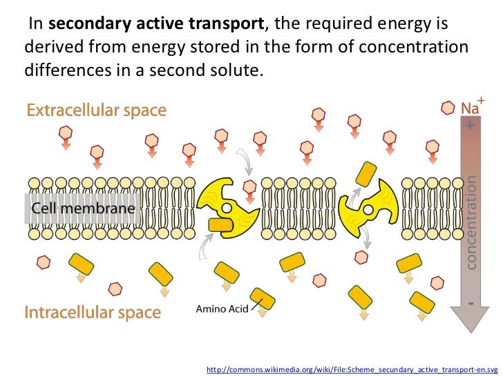In secondary active transport, the required energy isderived from energy stored in the form of concentrationdifferences in...