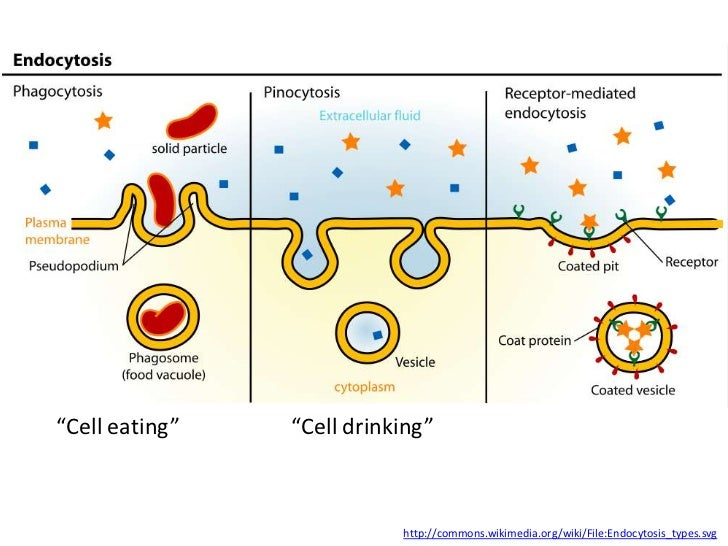 """Cell eating""   ""Cell drinking""                           http://commons.wikimedia.org/wiki/File:Endocytosis_types.svg"
