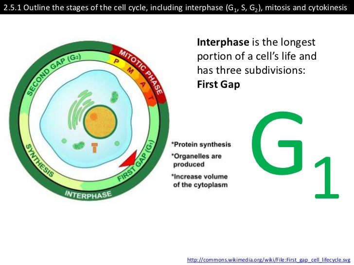 ib biology core 25 cell division