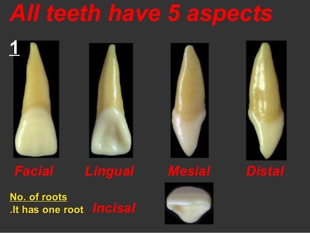2 anterior teeth