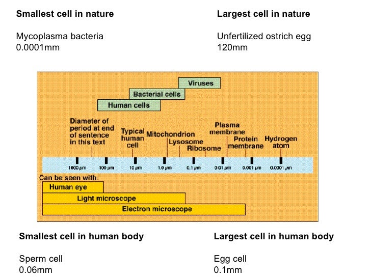 Largest cell in human body Egg cell 0.1mm Smallest cell in human body Sperm cell 0.06mm Smallest cell in nature Mycoplasma...