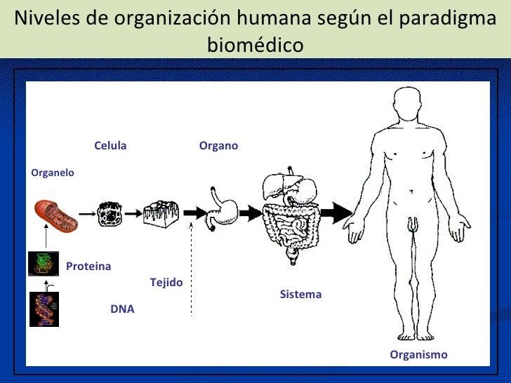 Niveles de organización humana según el paradigma biomédico  Organismo Organo Tejido Celula Sistema Proteina DNA Organelo