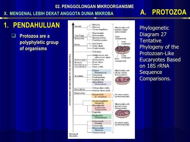 X.  MENGENAL LEBIH DEKAT ANGGOTA DUNIA MIKROBA 02. PENGGOLONGAN MIKROORGANISME <ul><li>PROTOZOA </li></ul><ul><li>Protozoa...