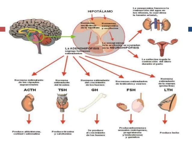 INTRODUCCION A LA ENDOCRINOLOGIA.HORMONAS HIPOTALAMICAS.15