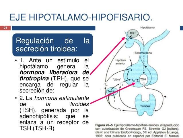 EJE HIPOTALAMO-HIPOFISARIO.Regulación de lasecrecióntiroidea:• 3. La TSH estimula ala Tiroides a laformación yaumento en l...