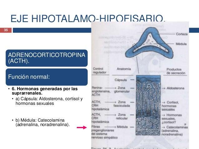 INTRODUCCION A LA ENDOCRINOLOGIA.HORMONAS HIPOTALAMICAS.Hormona liberadora de hormona delcrecimiento (GHRH)• La GHRH estim...