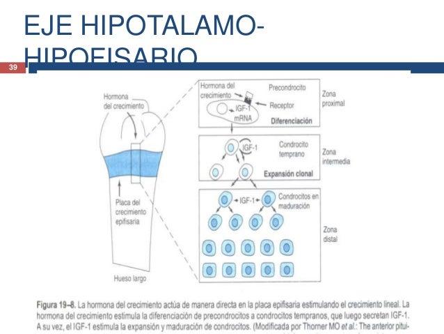 EJE HIPOTALAMO-HIPOFISARIO.40