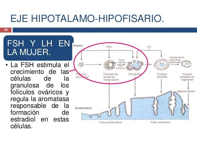 EJE HIPOTALAMO-HIPOFISARIO.FSH Y LH ENLA MUJER.• La LH estimula lascélulas de la tecaovárica paraproducirandrógenos, loscu...