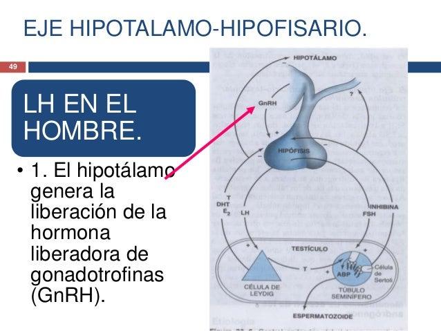EJE HIPOTALAMO-HIPOFISARIO.LH EN ELHOMBRE.• 2. La hipófisisgenera comorespuesta laliberación de la LHy, en menor gradode l...