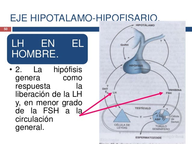 EJE HIPOTALAMO-HIPOFISARIO.LH EN EL HOMBRE.• 3. En el testículo la LH seenlaza con receptores demembrana en las célulasde ...
