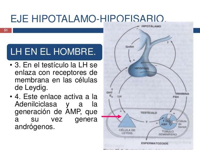 EJE HIPOTALAMO-HIPOFISARIO.LH EN ELHOMBRE.• 5. La testosterona(DHT), unandrógeno, inhibela secreción de LHy de GnRH.52