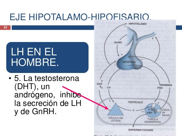EJE HIPOTALAMO-HIPOFISARIO.FSH EN ELHOMBRE.• 1. El hipotálamo genera laGnRH.• 2. La hipófisis comorespuesta genera la FSH....