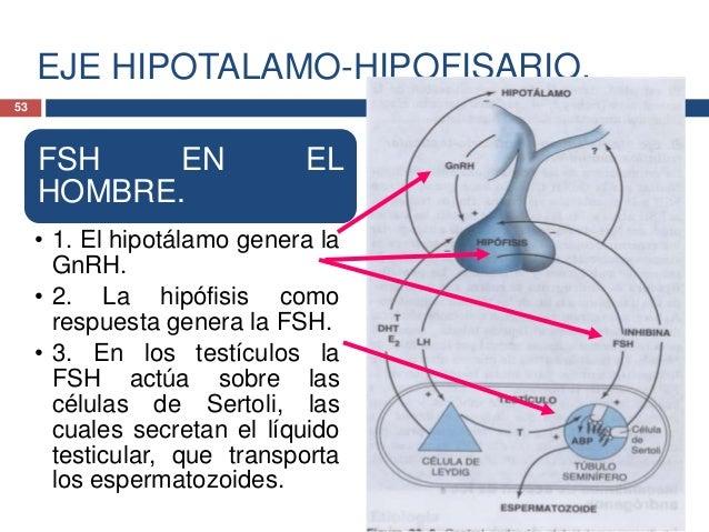 EJE HIPOTALAMO-HIPOFISARIO.FSH EN ELHOMBRE.• 4. Asimismo la FSH,promueve la síntesis ysecresión de dosproteínas, la proteí...