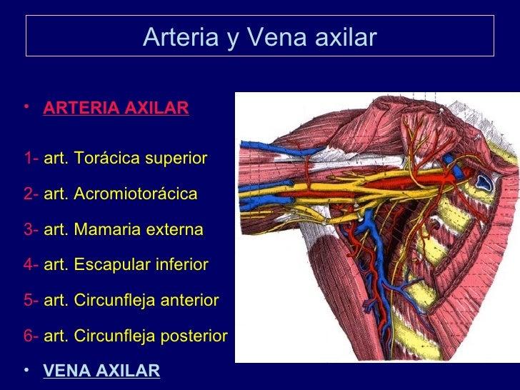 Atractivo La Anatomía De La Vena Axilar Patrón - Anatomía de Las ...