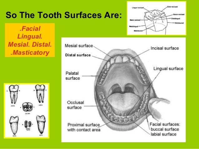 Terms in Dental Practice Terms in Dental Practice