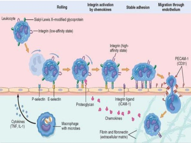 Stages of Phagocytosis: Chemotaxis:  DEFINITION- Process Of Directed Cell Migration           Along A Chemical Gradient Re...