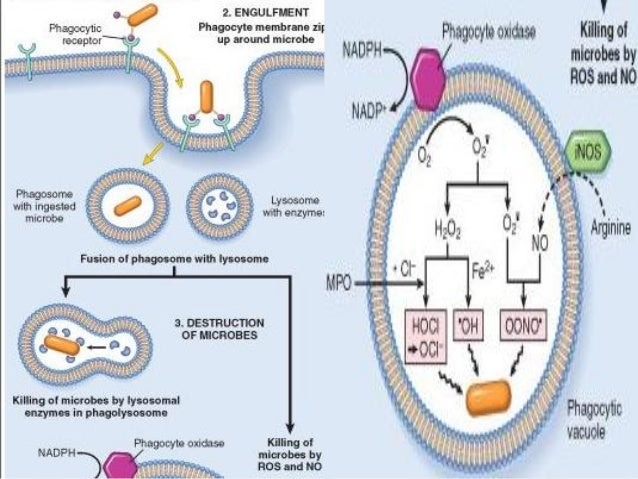 O2 INDEPENDENT             MECHANISMS Bacterial permeability increasing protein-    phospholipase activation   Lysozyme...