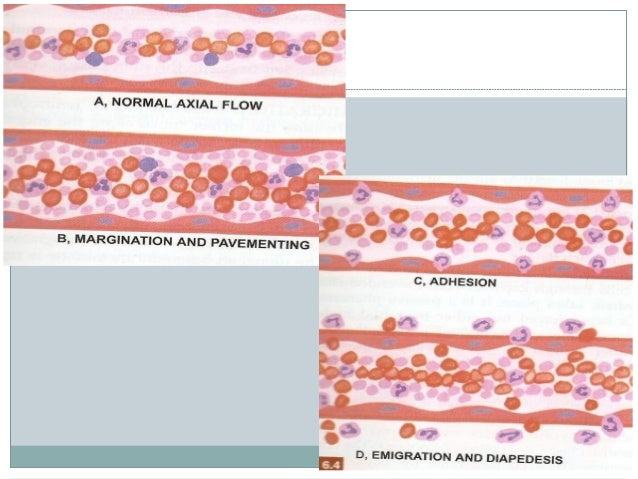 STEPS OF EXTRAVASATION OF INFLAMMATORY CELLS