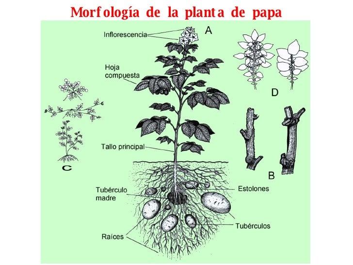 Morfología de la planta de papa