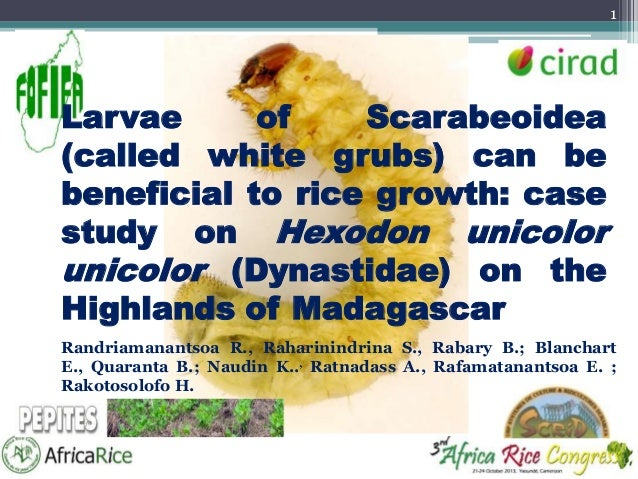 1  Larvae of Scarabeoidea (called white grubs) can be beneficial to rice growth: case study on Hexodon unicolor unicolor (...