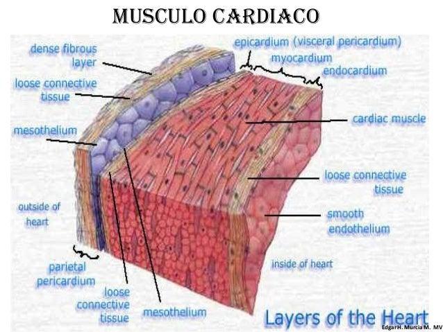 2.músculo liso y estriado cardiaco