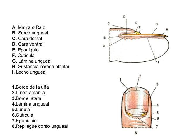 Histología - Piel y Anexos