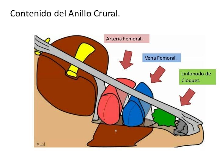 2. region glutea, inguino crural y muslo