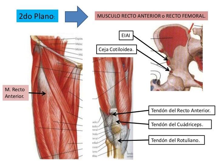 Increíble Vasto Medial Anatomía Elaboración - Anatomía de Las ...