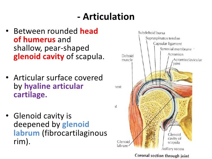 2. shoulder joint & its applied anatomy 07[1]