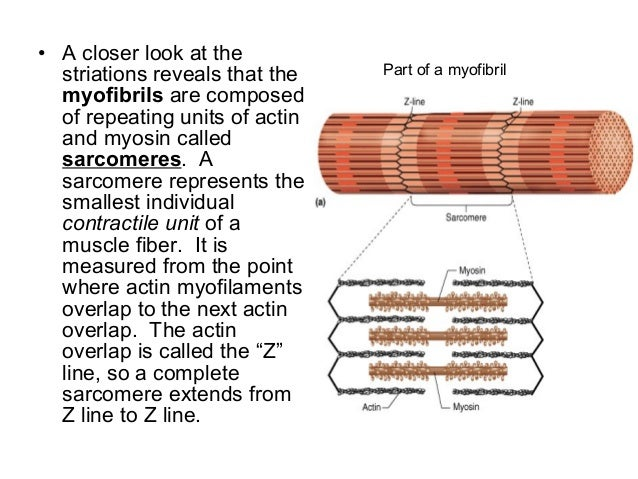 The contractile units of skeletal muscles are