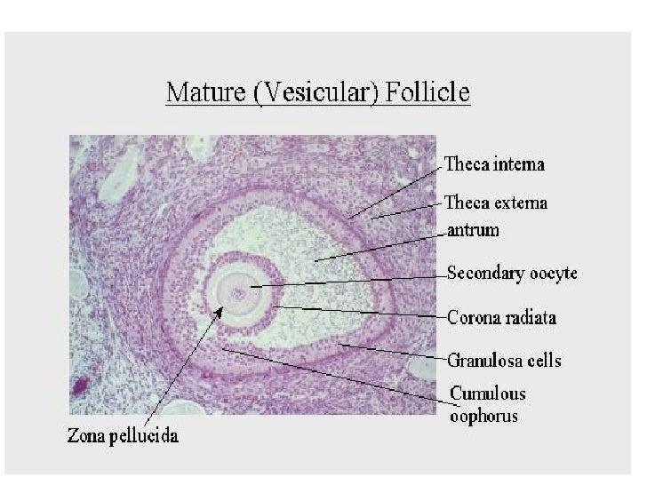 2 Spermatogenesis & Oogenesis