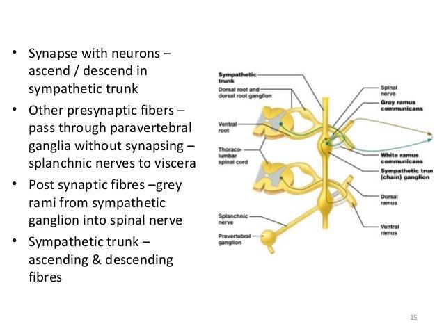 2. sympathetic nervous system