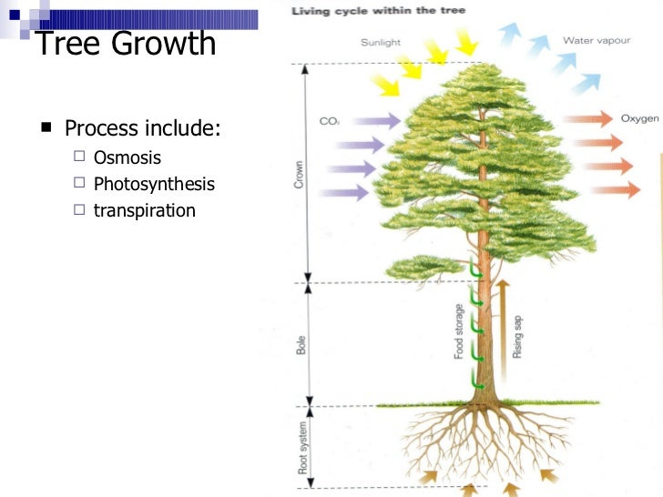 2 tree growth structure