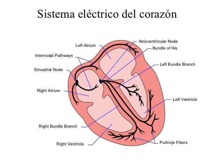 Lujo Anatomía Del Diagrama De Corazón Molde - Anatomía de Las ...