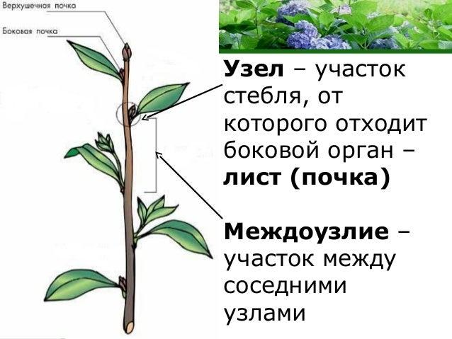Внешнее строение стебля
