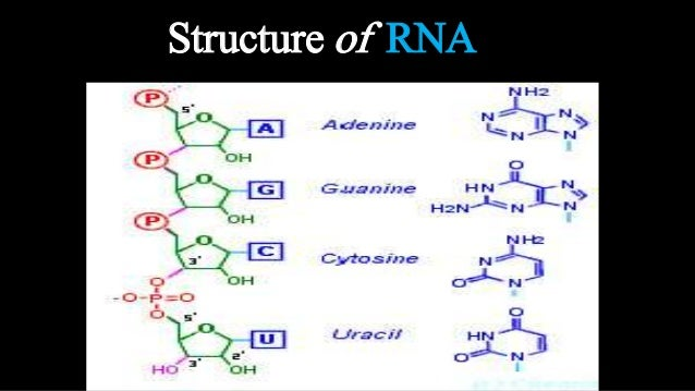 components of rna