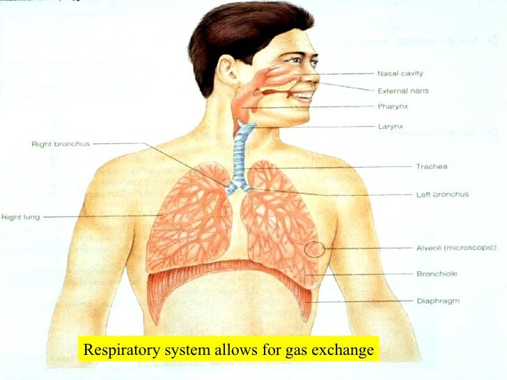Respiratory system allows for gas exchange