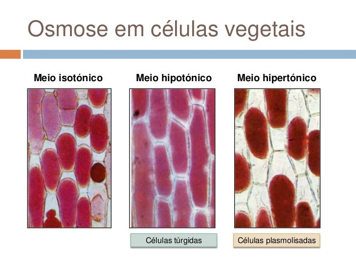 Osmose em células vegetaisMeio isotónico   Meio hipotónico     Meio hipertónico                  Células túrgidas   Célula...