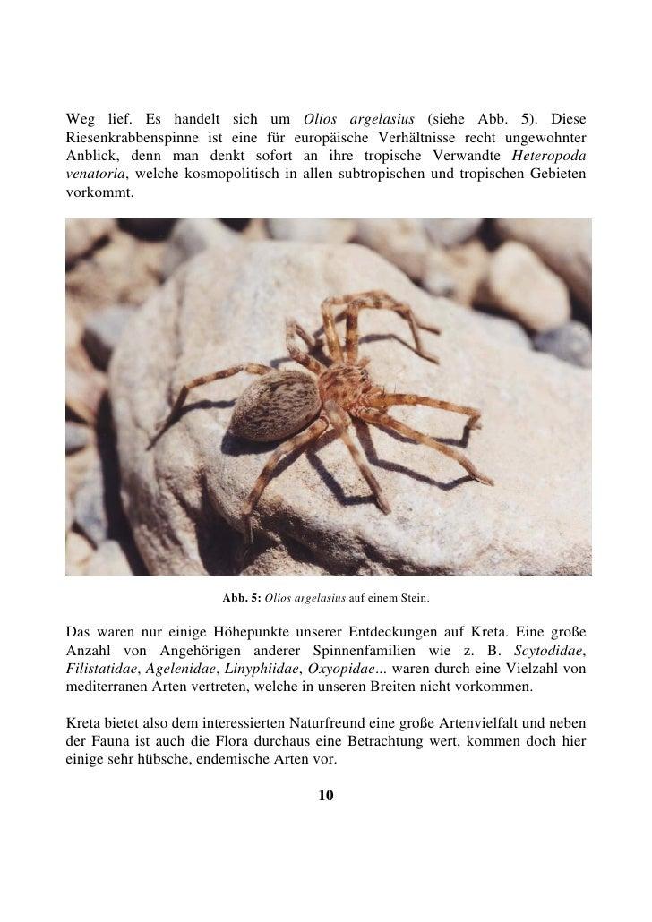Weg lief. Es handelt sich um Olios argelasius (siehe Abb. 5). Diese Riesenkrabbenspinne ist eine für europäische Verhältni...