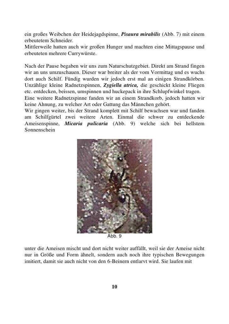 ein großes Weibchen der Heidejagdspinne, Pisaura mirabilis (Abb. 7) mit einem erbeutetem Schneider. Mittlerweile hatten au...