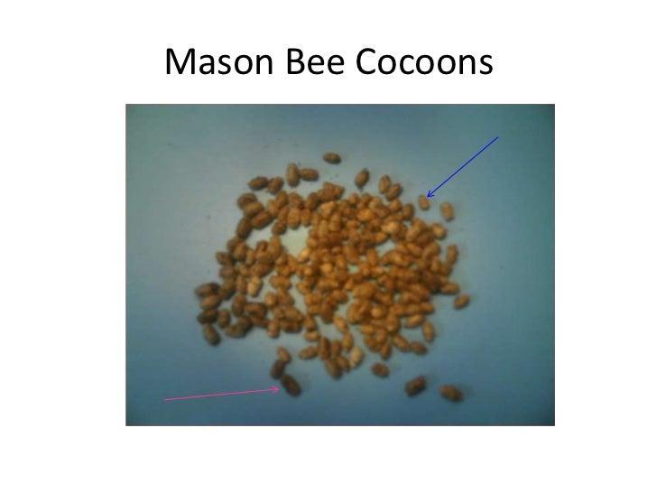 The Amazing Orchard Mason Bee 28