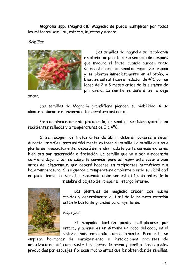 Art culos bonsai 2006 - Semilla de magnolia ...