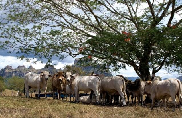 Lo anterior se traduce en que en la actualidad el incremento diario de peso de los animales en los ecosistemas estratégico...
