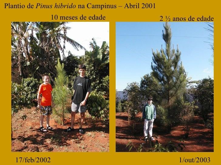 17/feb/2002 1/out/2003 Plantio de  Pinus hibrido  na Campinus – Abril 2001 10 meses de edade 2 ½ anos de edade