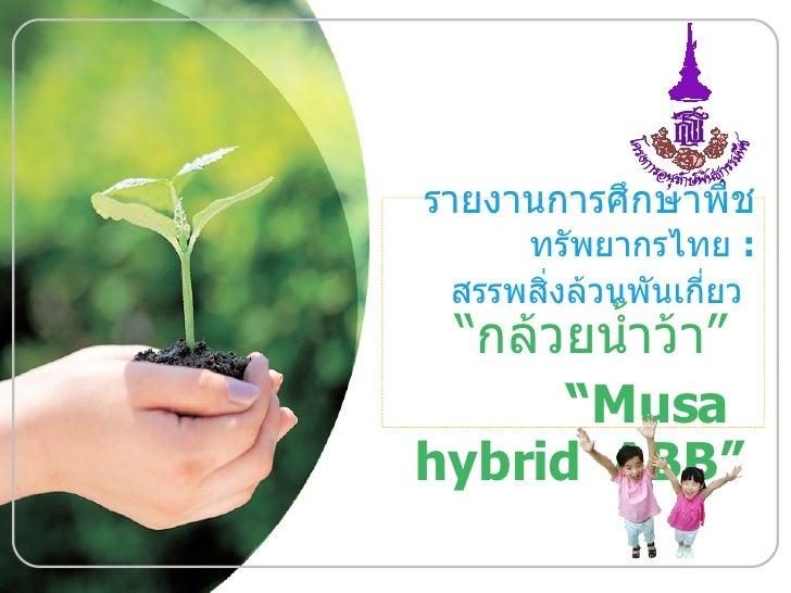 """รายงานการศึกษาพืช ทรัพยากรไทย  :  สรรพสิ่งล้วนพันเกี่ยว   """" กล้วยน้ำว้า """"  """" Musa  hybrid  ABB"""""""
