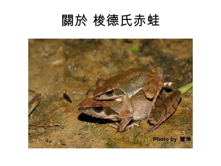 關於 梭德氏赤蛙 Photo by  慧玲