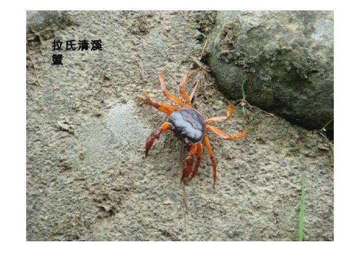 拉氏清溪蟹