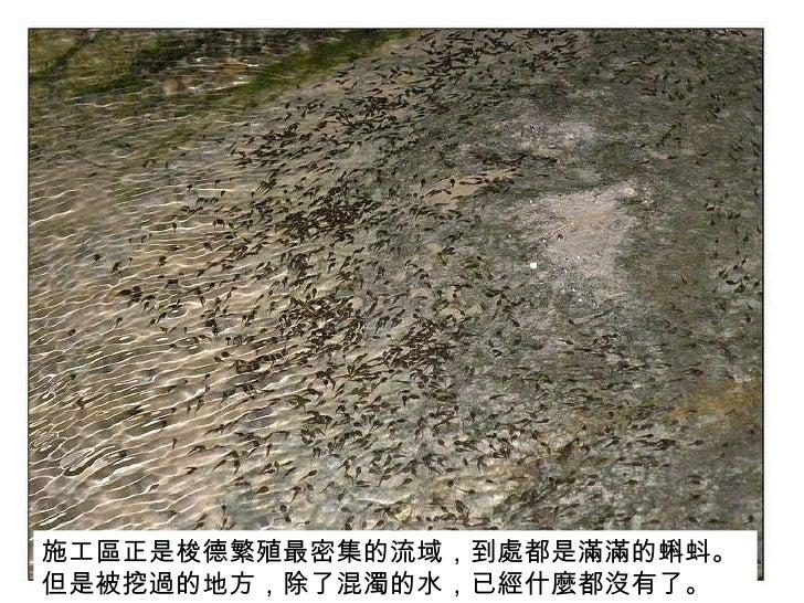 施工區正是梭德繁殖最密集的流域,到處都是滿滿的蝌蚪。但是被挖過的地方,除了混濁的水,已經什麼都沒有了。